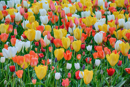 anthesis: Different Kinds of Tulips