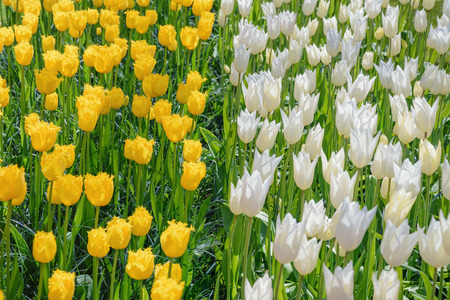 anthesis: White and Yellow Tulips