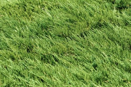 ecological environment: Arborvitae Green Background (Shallow DOF)