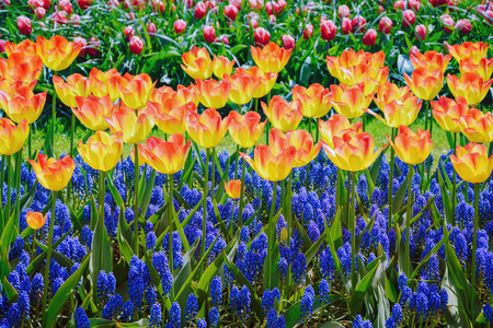 anthesis: Tulips and Muscari Flowers
