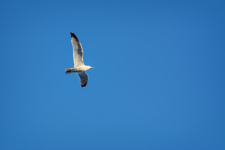 wingspread: Flying Seagull in the Blue Sky