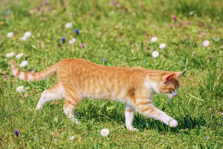 felid: Outbred Cat On The Green Grass Stock Photo