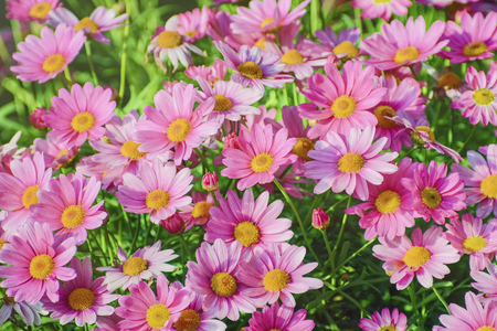 florescence: Chrysanthemum Flowers Shallow DOF Stock Photo