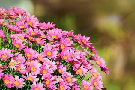 anthesis: Chrysanthemum Flowers Stock Photo