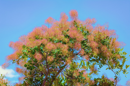ecological environment: Smoke bush (Cotinus) against of the Blue Sky