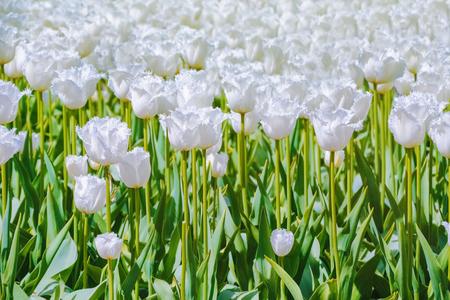 anthesis: White Tulips