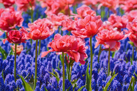 anthesis: Red Tulips in front of Blue Flowers Stock Photo