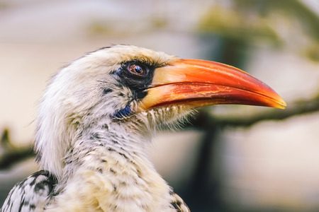 pecker: Portrait of Red-Billed Hornbill (Tokus Erythrorhynchus)