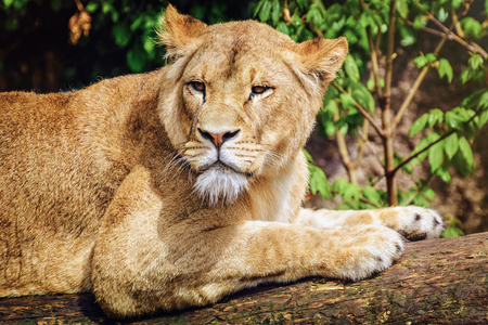 foreleg: Portrait of Lioness Lying on the Log Stock Photo