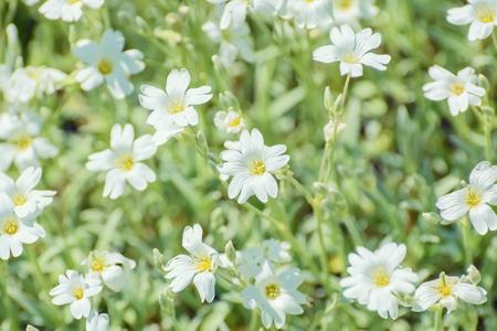 starlike: Stellaria (Stellaria holostea) flower (Shallow DoF) Stock Photo
