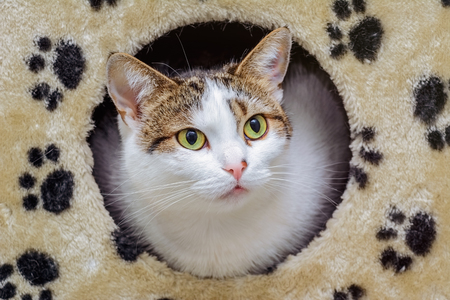 house cat: The Domestic Cat Looking out of its House Stock Photo