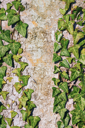 lobed: Green English Ivy over the Old Tree Stock Photo