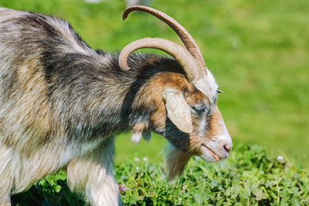 nanny goat: Portrait of Nanny Goat in the Green Pasture Stock Photo