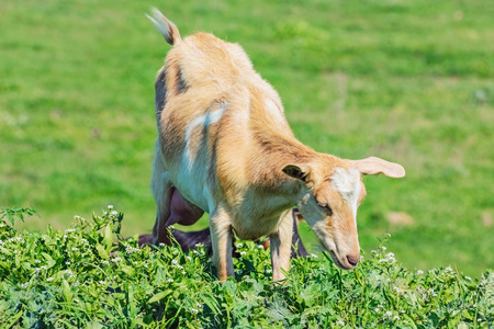 nanny goat: Young Nanny Goat in the Green Pasture Stock Photo