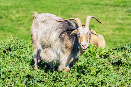 nanny: A Nanny Goat in the Green Pasture Stock Photo