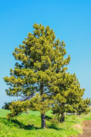 arbol de pino: Árbol de pino contra el azul del cielo