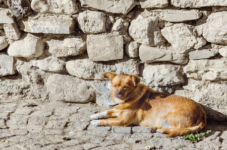 cur: An Old Little Dog Lies near the Stone Wall Stock Photo