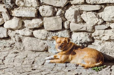 foreleg: An Old Little Dog Lies near the Stone Wall Stock Photo