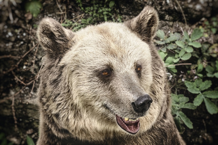 and diurnal: Close Up Portrait of the Brown Bear