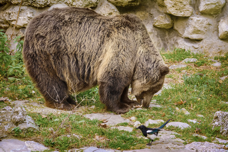 diurnal: Brown Bear Eats a Fish