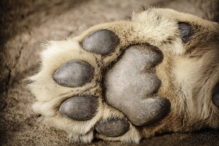 lions: Paw of Lion Showing Pads