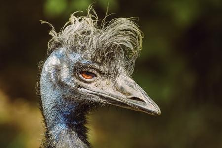 emu: Cerca Retrato de Emu