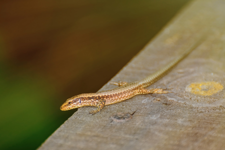 scaled: Small Lizard on The Wooden Plank