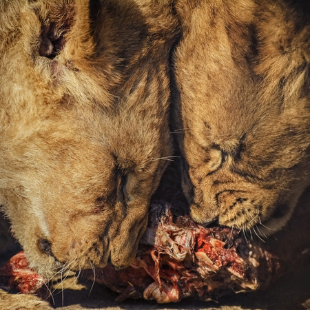 flesh eating animal: Two Lion Cubs Eating Meat
