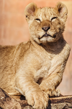 foreleg: Portrait of Young Lion Stock Photo