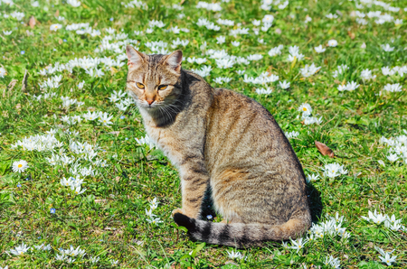 felid: Cat on the Field among the White Flowers Stock Photo