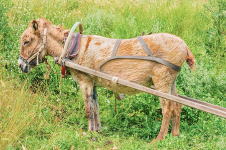 ungulate: Harnessed  donkey