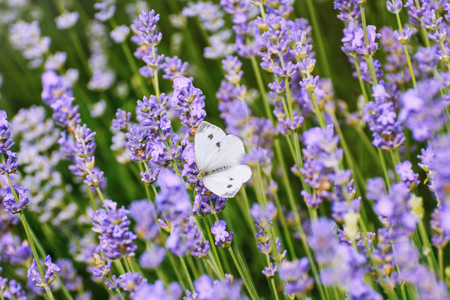 brassicae: Cabbage White Butterfly on the Lavender Flower Stock Photo