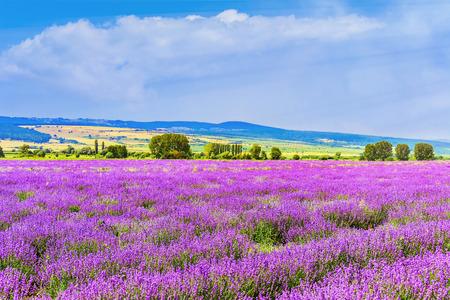 flowering field: Lavender Field in Bulgaria