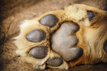 epidermis: Paw of Lion Showing Pads
