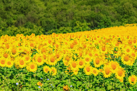 anthesis: Sunflowers Field Stock Photo