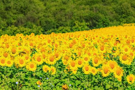 flowering field: Sunflowers Field Stock Photo