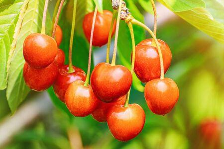cherrytree: Cherry on the Cherry-tree