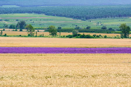 land plant: Field of Lavender among the Wheat Stock Photo