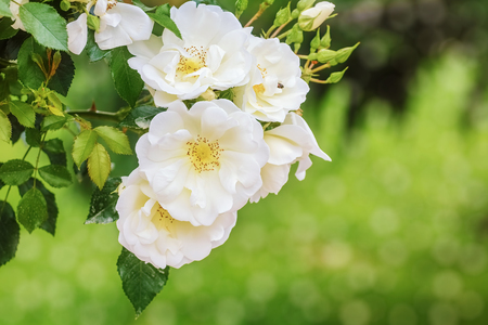 anthesis: White Roses over Green