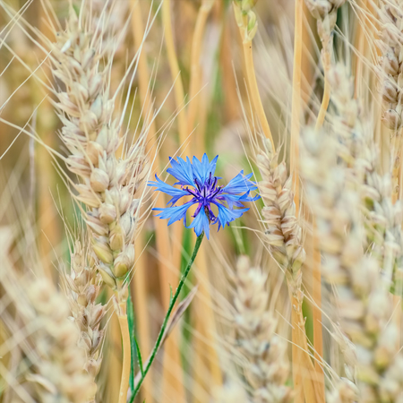 anthesis: Blue Cornflower among the Wheat Stock Photo