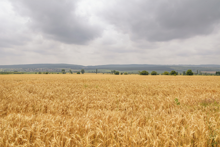 wheat kernel: Field of Rye under the Cloudy Sky Stock Photo