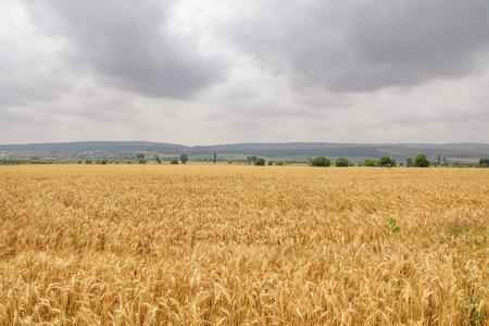 rye: Field of Rye under the Cloudy Sky Stock Photo