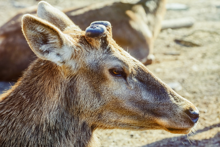animal ear: Portrait of Deer without Horns Stock Photo