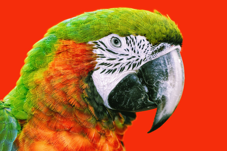 red animal: Portrait of the Macaw Parrot over the Red Background