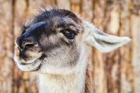 pack animal: Portrait of Llama against the Wooden Background