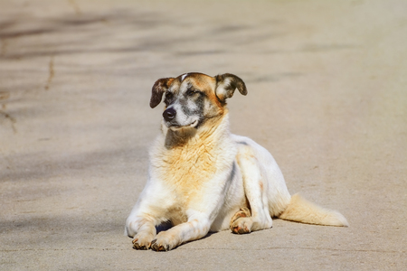 cur: Mongrel Dog Lying on the Pavement