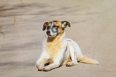 foreleg: Mongrel Dog Lying on the Pavement
