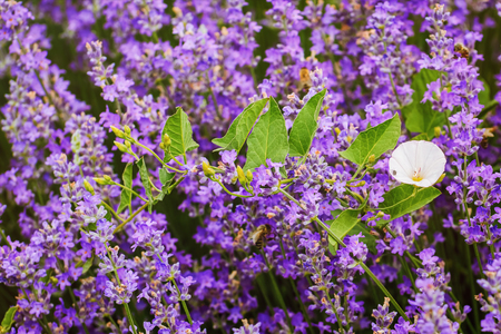 arvensis: Convolvulus Arvensis (Field Bindweed) among Lavender Flowers