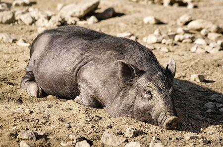 suid: Sleeping Wild Boar
