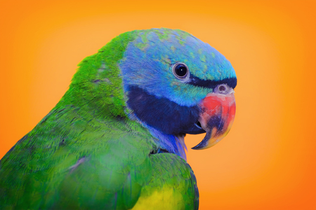 psittacidae: Lord Derbys Parakeet over the Yellow Background Stock Photo